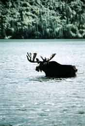 Moose swimming in Chitina River